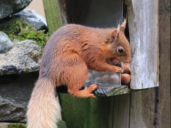 Red squirrel at Brackenrigg Holiday Cottages in Keswick